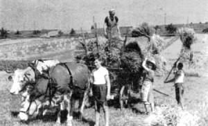 Getreideernte im 2 Weltkrieg