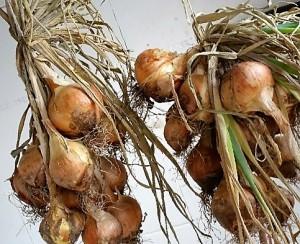 Zwiebeln zum Trocknen aufgehängt