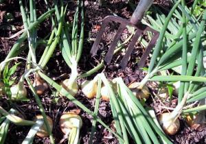 Zwiebeln vor der Ernte