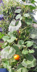 Hochgeleitete Kürbispflanze Anfang Juli